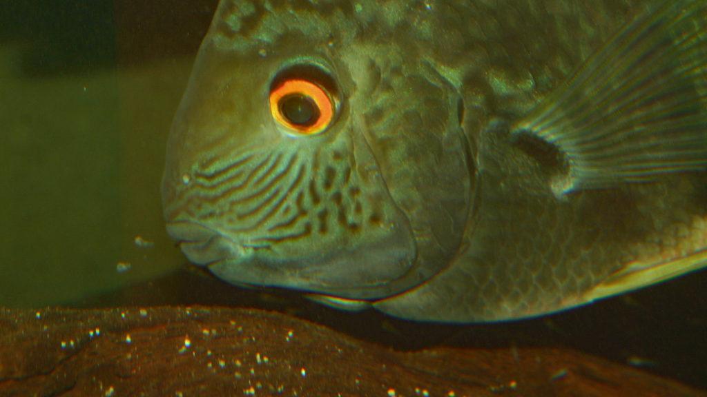 """Heros sp. 'Santarem"""", avec ses alevins (Club aquariophile de Vernon, novembre 2008)"""
