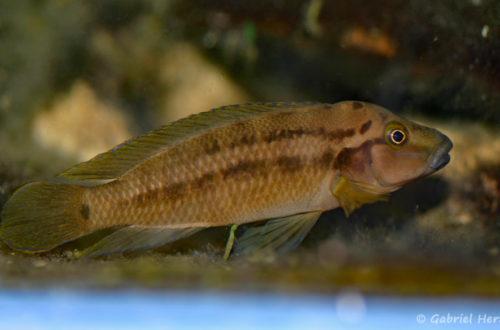 Julidochromis sp. (Chez Heinz Büscher, Suisse, décembre 2008)