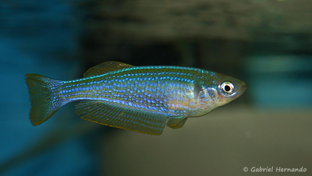 Lampricthys tanganyicanus (Abysse,  janvier 2009)