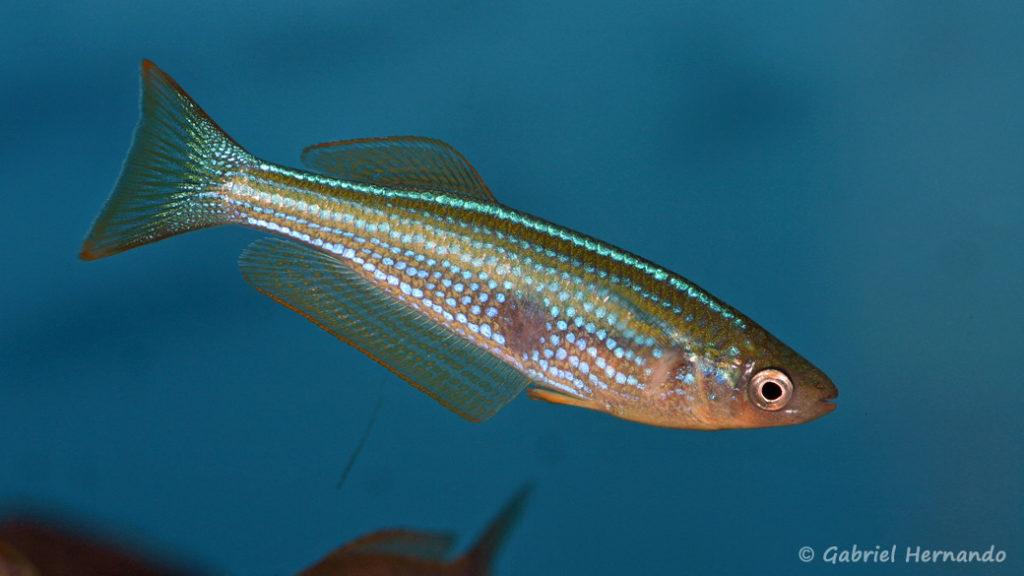 Lampricthys tanganyicanus (Aqua Treff, Duisbourg, mars 2011)