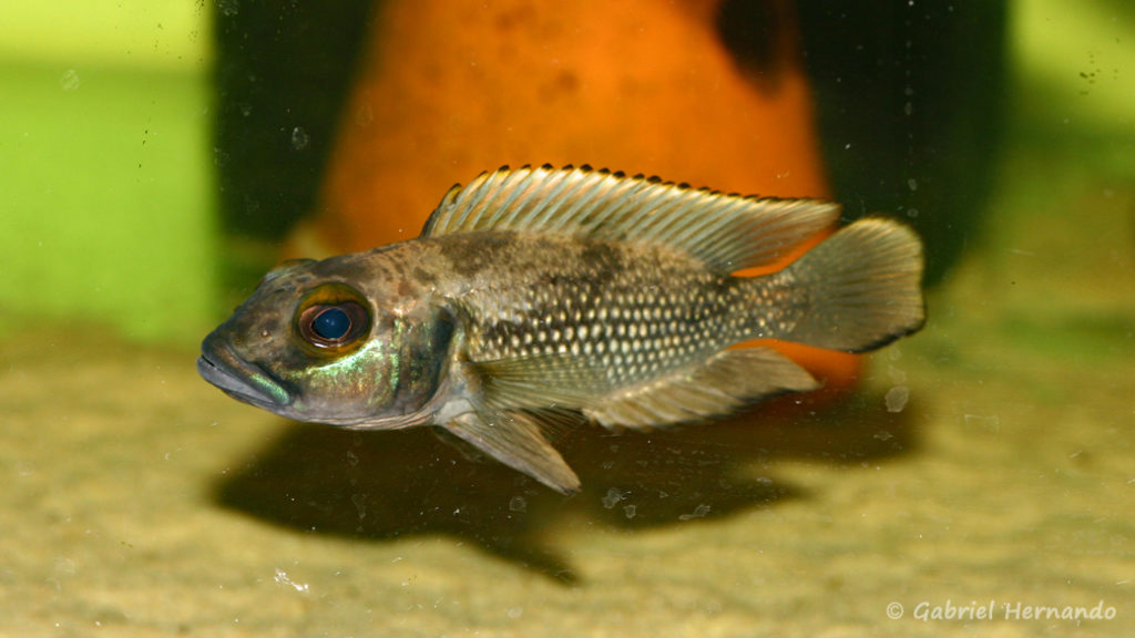 Lepidiolamprologus lemairii (chez Aquabeek, Pays Bas, mars 2009)