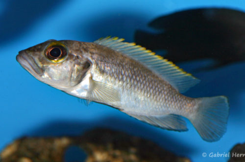 Lepidiolamprologus lemairii (chez Aqua-Treff, Duisbourg, mars 2009)