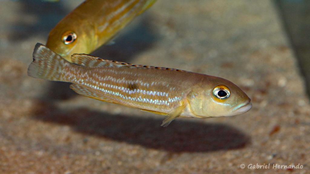 Lepidiolamprologus pleuromaculatus (Aqua-Treff, Allemagne, mars 2009)