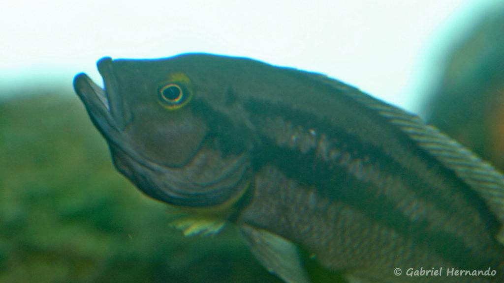 Neolamprologus bifasciatus (Chez Heinz Büscher, Suisse, décembre 2008)