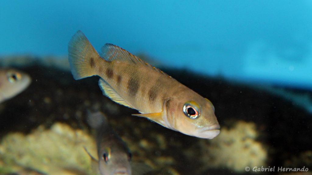Neolamprologus boulengeri (Aqua Treff, Duisbourg, Allemagne, mai 2014)