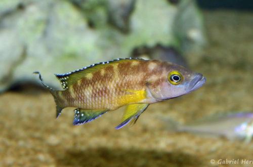 Neolamprologus buescheri, variété de Kamakonde