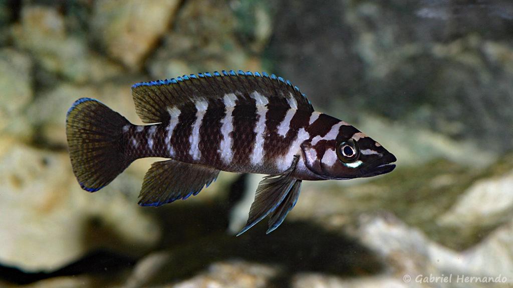 Neolamprologus cylindricus (Club Aquariophile de Vernon, mars 2008)