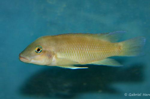 Neolamprologus mondabu, variété d'Uvira (chez Benoît Jonas, décembre 2008)
