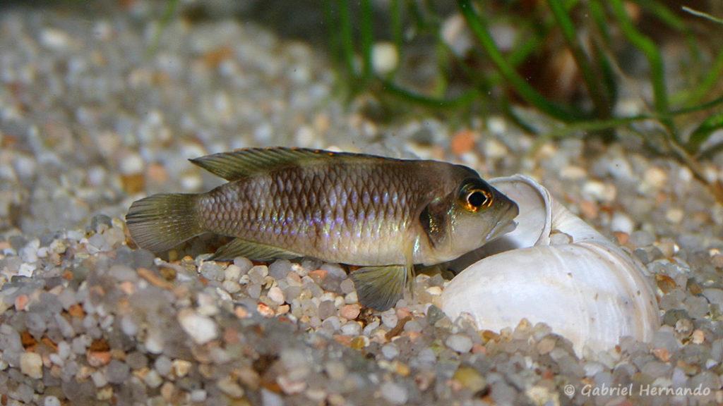 Neolamprologus ocellatus (chez Gilles Garrier, novembre 2007)