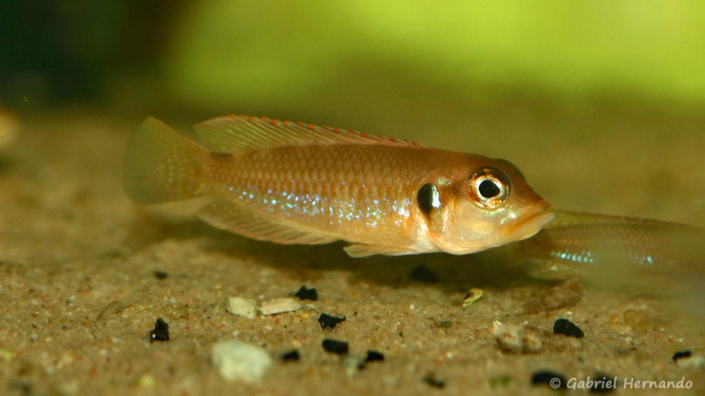 Neolamprologus ocellatus (Aquabeek, Pays Bas, mars 2009)