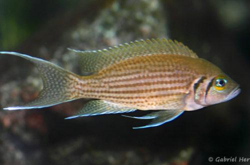 Neolamprologus olivaceous (chez Heinz Büscher, Suisse, décembre 2008)