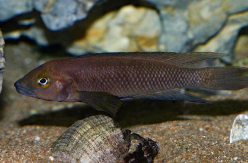 Neolamprologus pectoralis (Club Aquariophile de Vernon, février 2008)