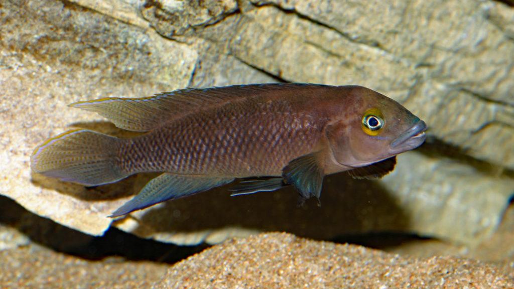 Neolamprologus pectoralis (Club Aquariophile de Vernon, avril 2008)