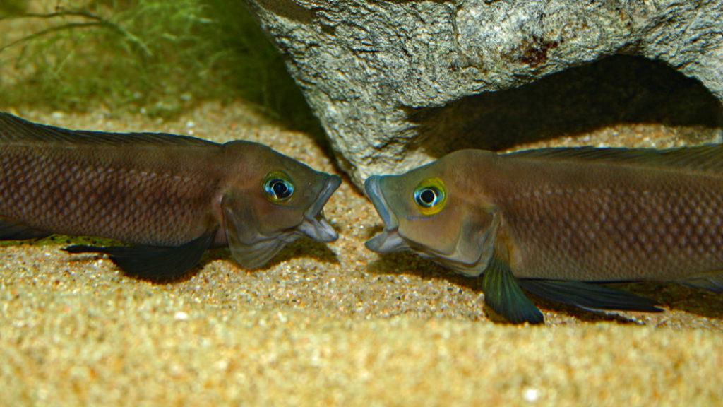 Neolamprologus pectoralis (Club Aquariophile de Vernon, janvier 2009)