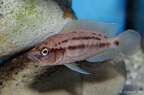 Neolamprologus prochilus (Aqua Treff, mais 2014)