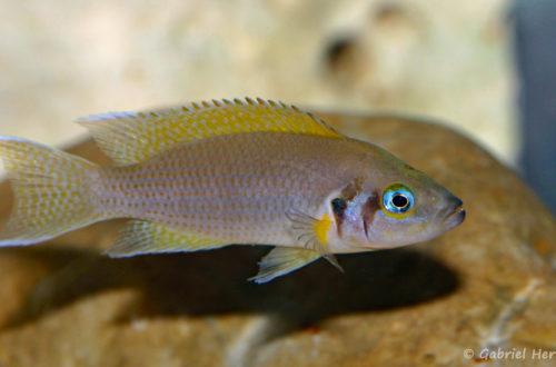 Neolamprologus pulcher (local de Steve et Jérôme, Suisse, décembre 2008)