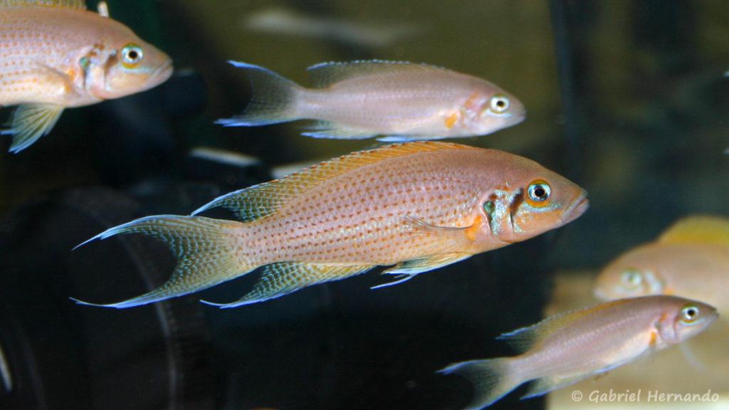 Neolamprologus pulcher, variété de Kantalamba (Vichy, congrès AFC 2005)