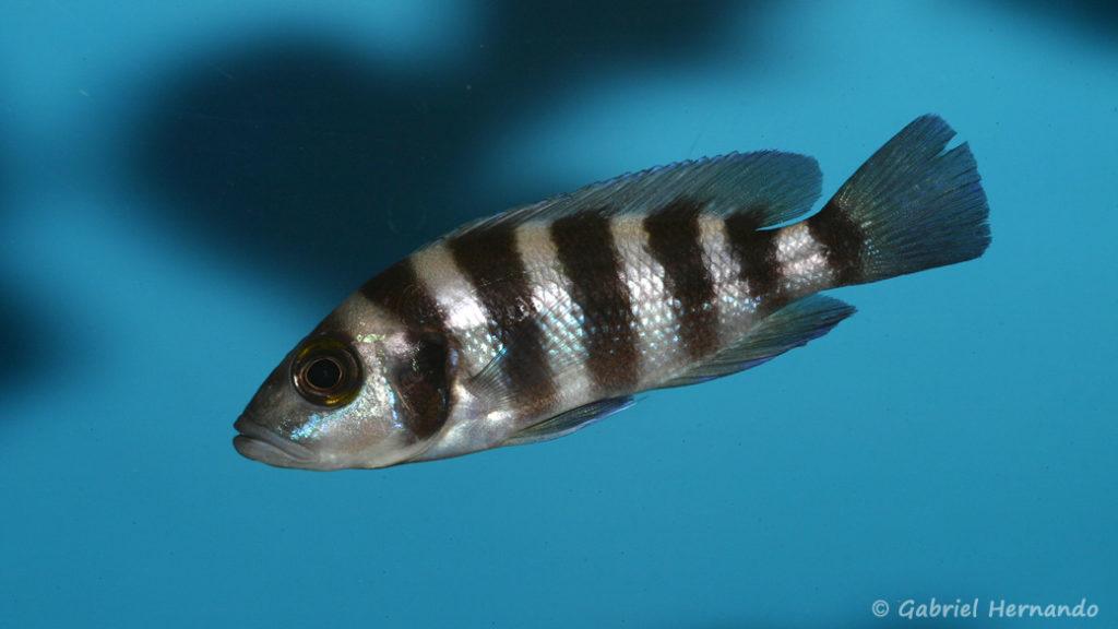Neolamprologus sexfasciatus (Aqua Treff, Duisbourg, Allemagne, mars 2009)