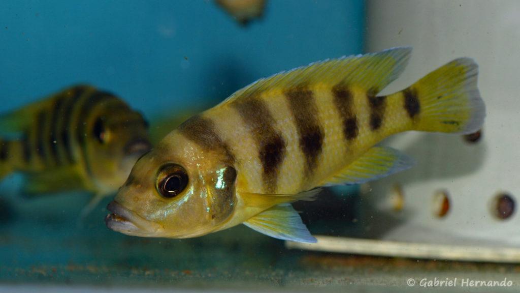 Neolamprologus sexfasciatus, variété de Kipili (Abysse, janvier 2009)