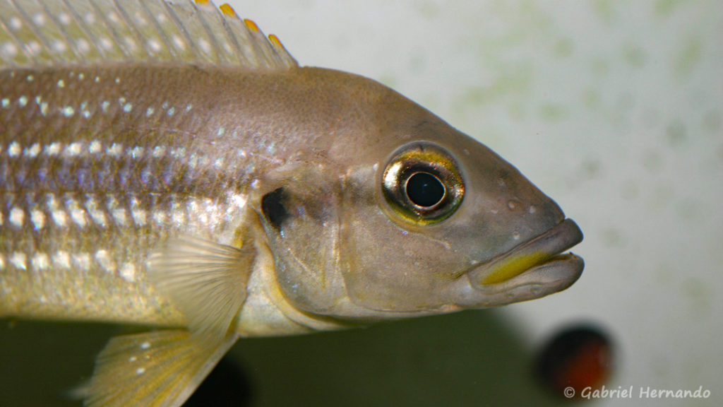 Neolamprologus tetracanthus (Abysse, avril 2009)