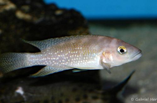 Neolamprologus tetracanthus, variété de Kipili (Aqua Treff, mars 2011)