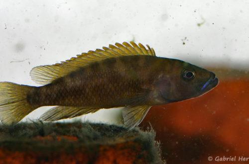 Neolamprologus variostigma (chez Heinz Büscher, Suisse, décembre 2008)
