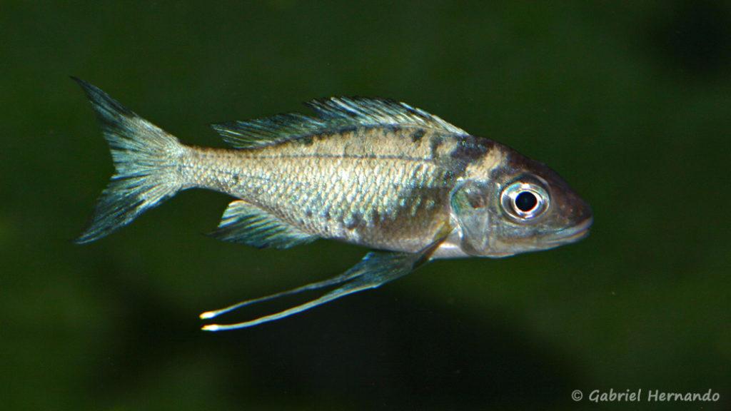 Ophtalmotilapia ventralis, variété de Zambie (chez Mike Pfann, décembre 2008)