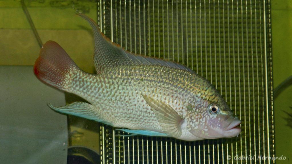 Oreochromis tanganicae (Aquabeek, Pays Bas, mars 2009)