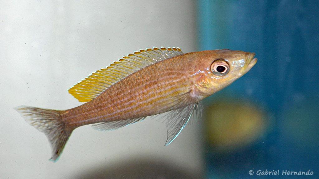 Paracyprichromis brieni, variété de Uvira (Abysse, janvier 2009)