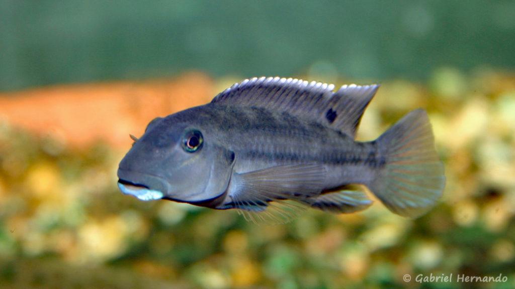 Steatocranus irvinei (Club aquariophile de Vernon, mai 2006)