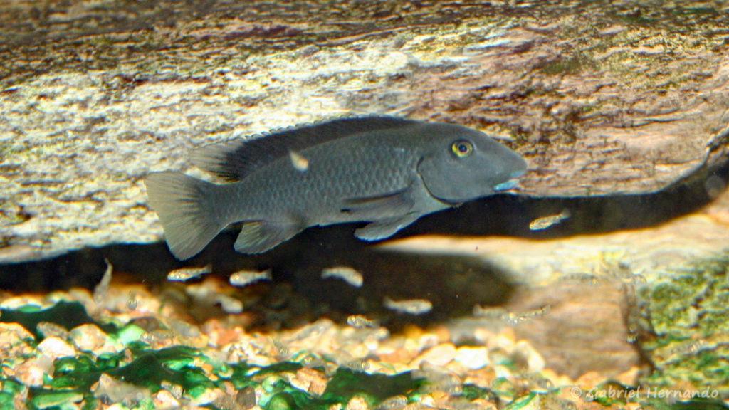 Steatocranus irvinei (Club aquariophile de Vernon, février 2007)