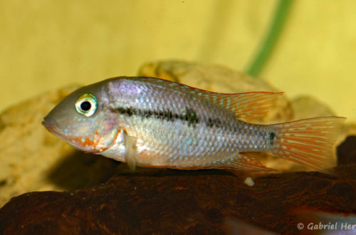 Thorichthys affinis (Hobby Zoo Tillman, Duisbourg, mars 2009)