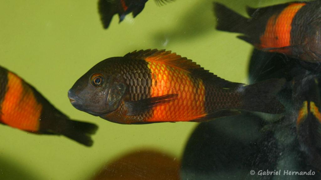"Tropheus sp. ""black"" , variété de Bemba (Aquabeek, Pays Bas, mars 2009)"