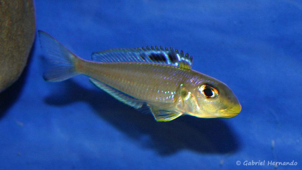 Xenotilapia bathyphila, variété de Kekese (local de Steve et Jérôme, décembre 2008)