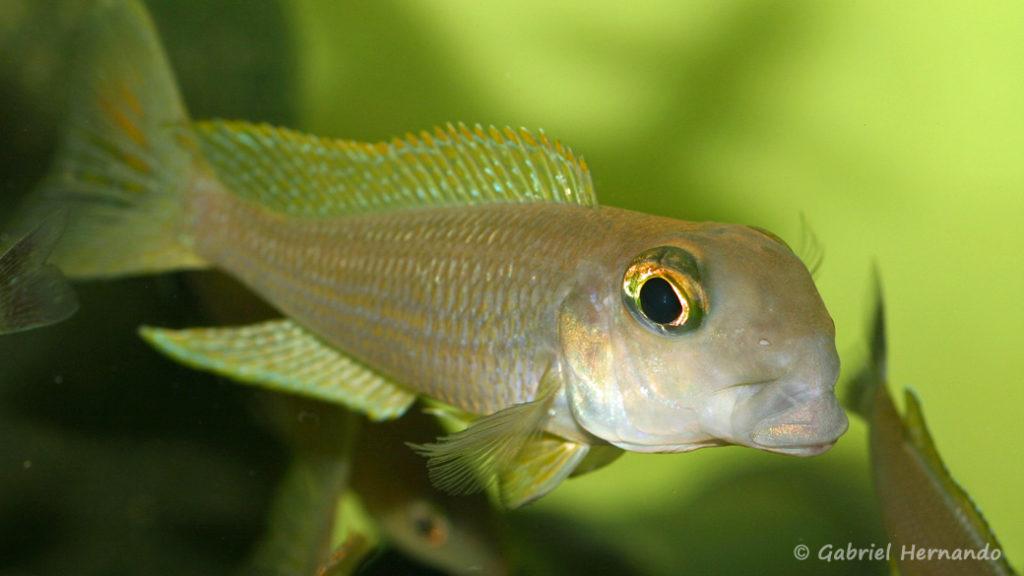 Xenotilapia boulengeri, variété de Isanga (Aquabeek, Pays Bas, mars 2008)