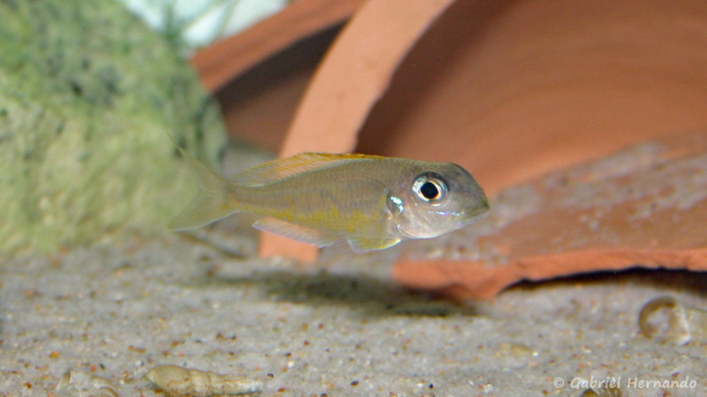 Xenotilapia flavipinnis, variété de Kiriza (Club aquariophile de Vernon, décembre 2007)