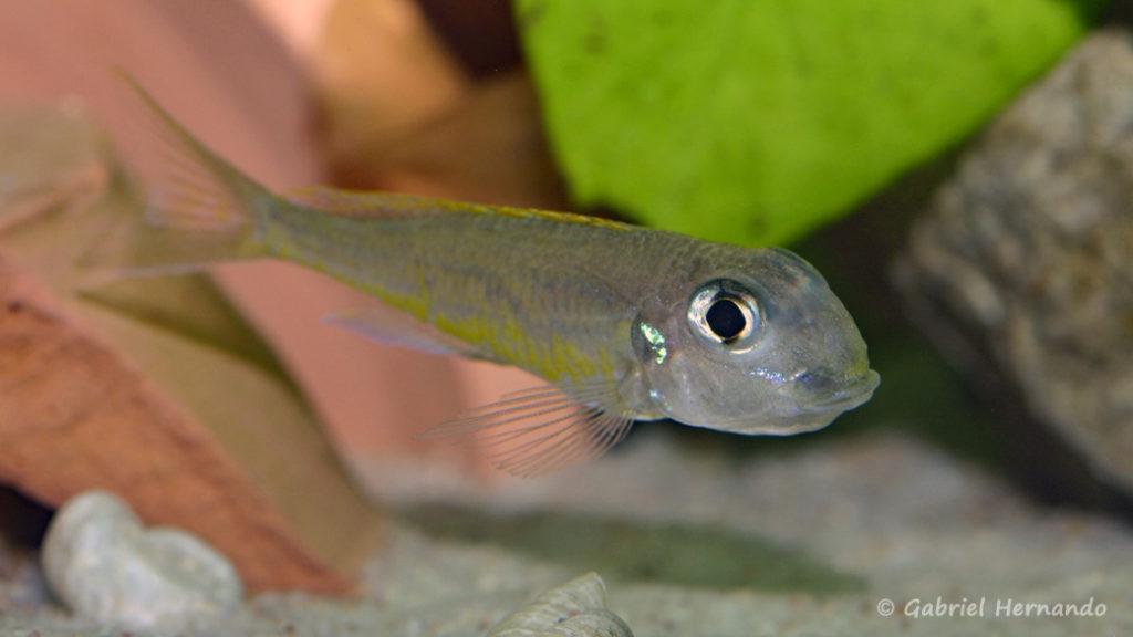 Xenotilapia flavipinnis, variété de Kiriza, femelle en incubation (Club aquariophile de Vernon, décembre 2007)