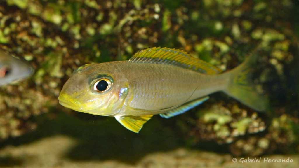 Xenotilapia flavipinnis, variété de Nyanza Lake (Aquabeek, Pays Bas, mars 2009)