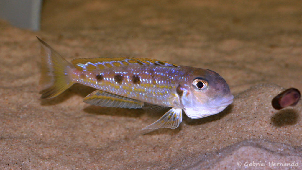 Xenotilapia ochrogenys, variété de Ndole (Aquabeek, Pays Bas, mars 2011)