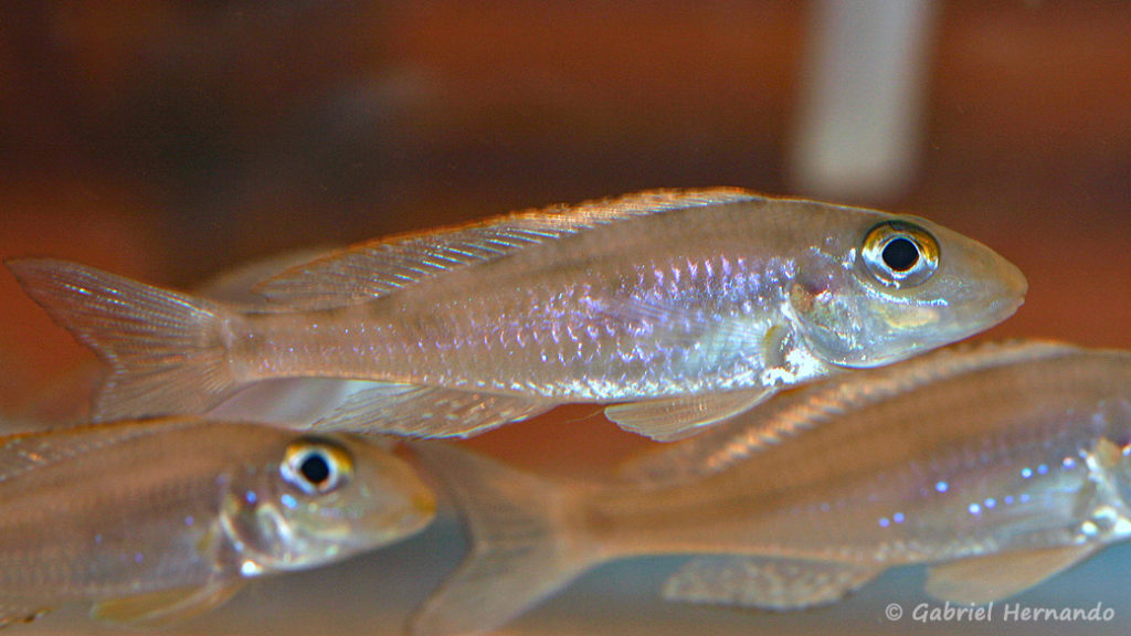Xenotilapia papilio, variété de Chituta (Nancy, congrès AFC, octobre 2008)