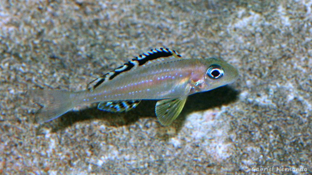 Xenotilapia papilio, variété Tembwe 2 (Club Aquariophile de Vernon, mai 2008)