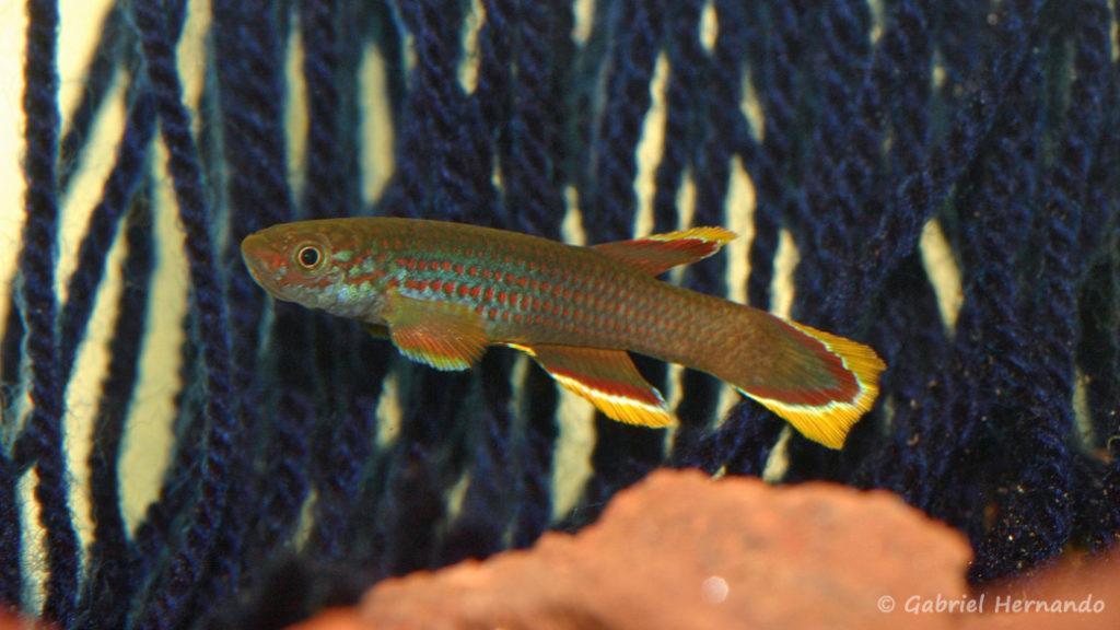 Aphyosemion celiae celiae, variété de Mambanda,Cameroun (club aquariophile de Vernon, septembre 2008)