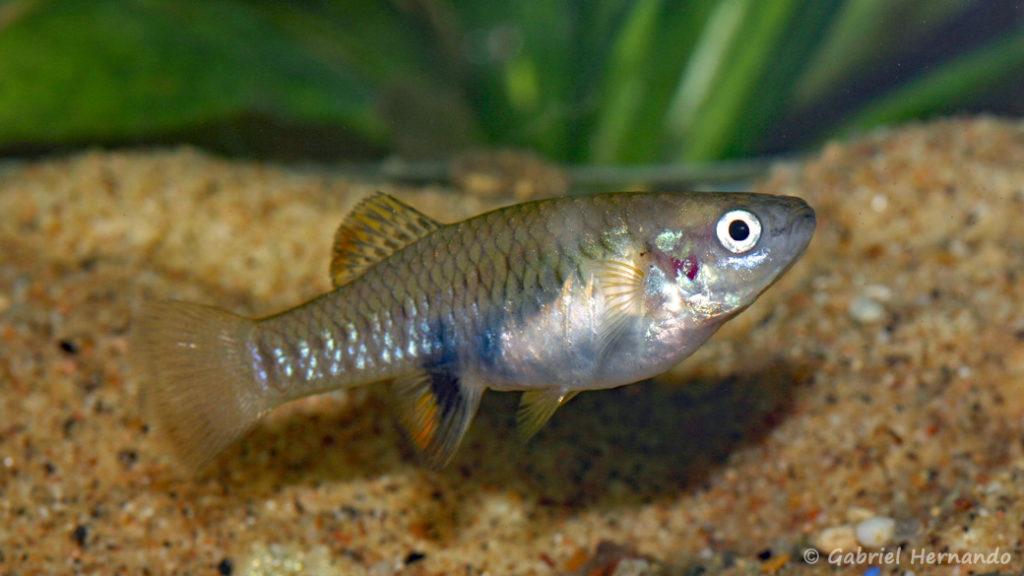Brachyrhaphis olomina, femelle (Expo AFV à Pont l'Evêque, septembre 2009)