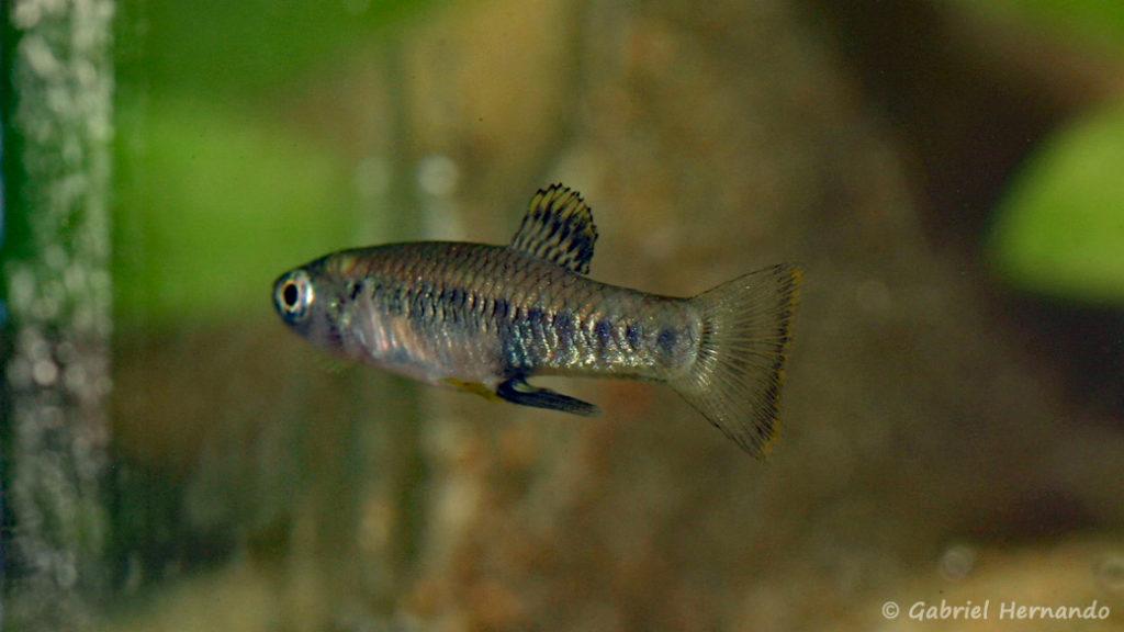 Brachyrhaphis olomina, mâle (Expo AFV à Pont l'Evêque, septembre 2009)