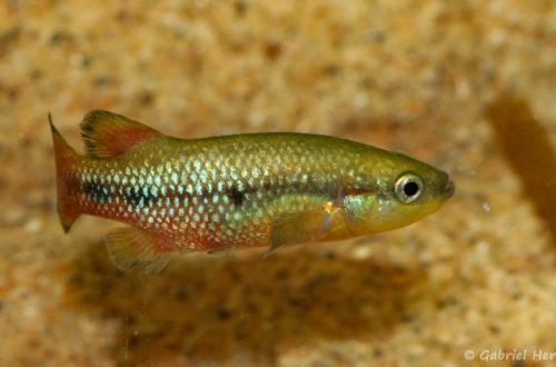Characodon lateralis (Expo AFV, Pont l'Evêque, septembre 2009)