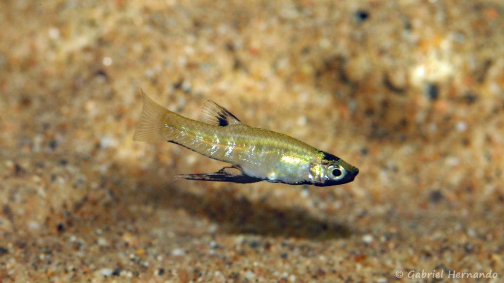 Girardinus metallicus, mâle (expo AFV à Pont l'Evêque, septembre 2009)
