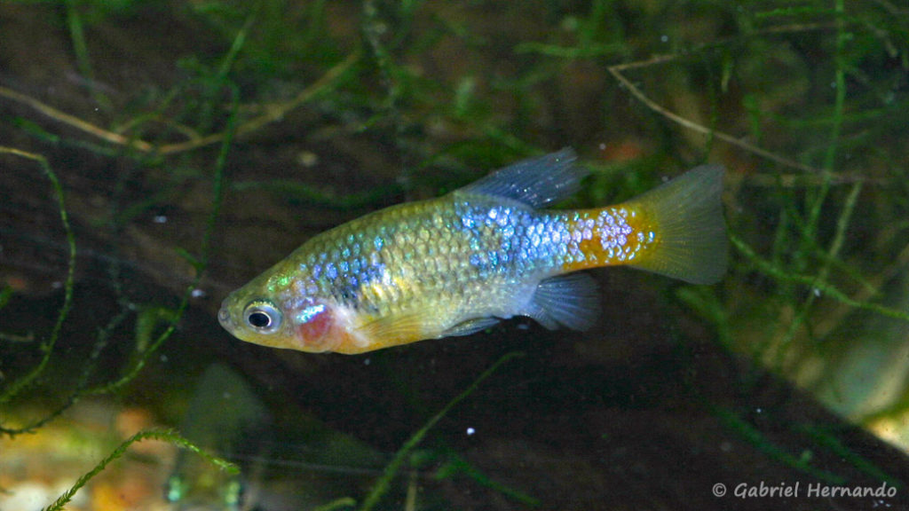 Xenotoca eiseni, mâle (Club aquariophile de Vernon, décembre 2007)