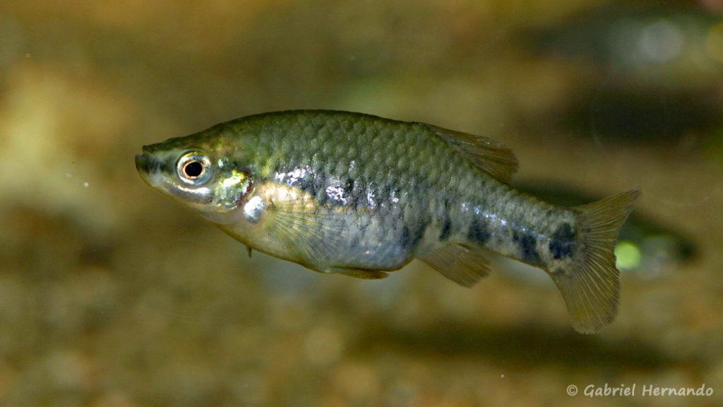 Zoogeneticus quitzoensis, femelle du Lac Zacapu, Mexique (Expo AFV à Pont l'Evêque, septembre 2009)