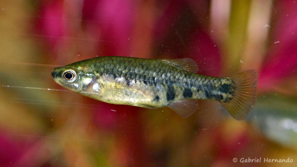Zoogeneticus quitzoensis, mâle du Lac Zacapu, Mexique (Expo AFV à Pont l'Evêque, septembre 2009)