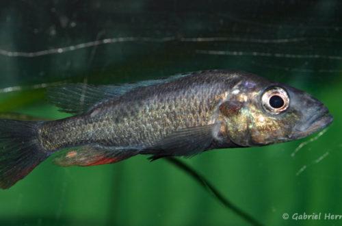 Haplochromis thereuterion (Villebon sur Yvette, congrès AFC 2009)